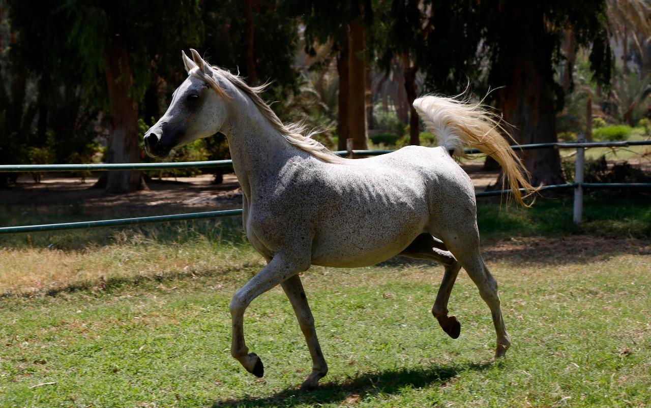 الأدهم الأقرح الأرثم أفضل صفات الحصان العربي الأصيل الكنوز المصرية
