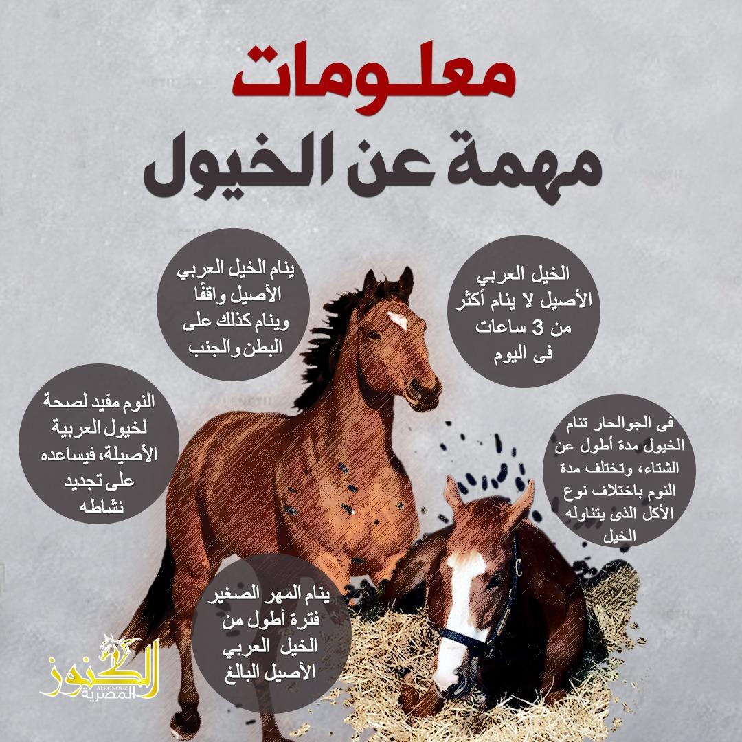إنفو جراف معلومات مهمة عن الخيول الكنوز المصرية
