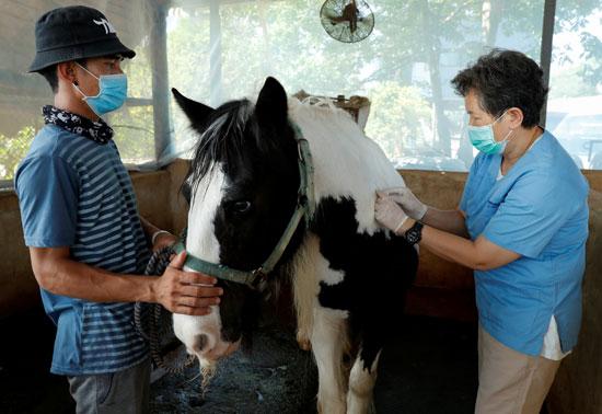 تطعيم الخيول في تايلاند