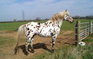 أبالوزا الحصان الرسمي لولاية إيداهو الأمريكية